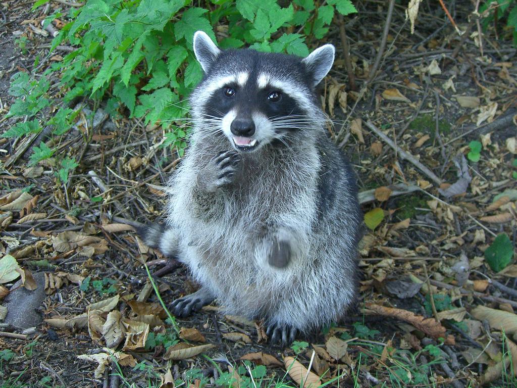 wildlife  u0026 raccoon control  insect  u0026 bed bug removal