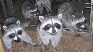 Wildlife & Raccoon Control